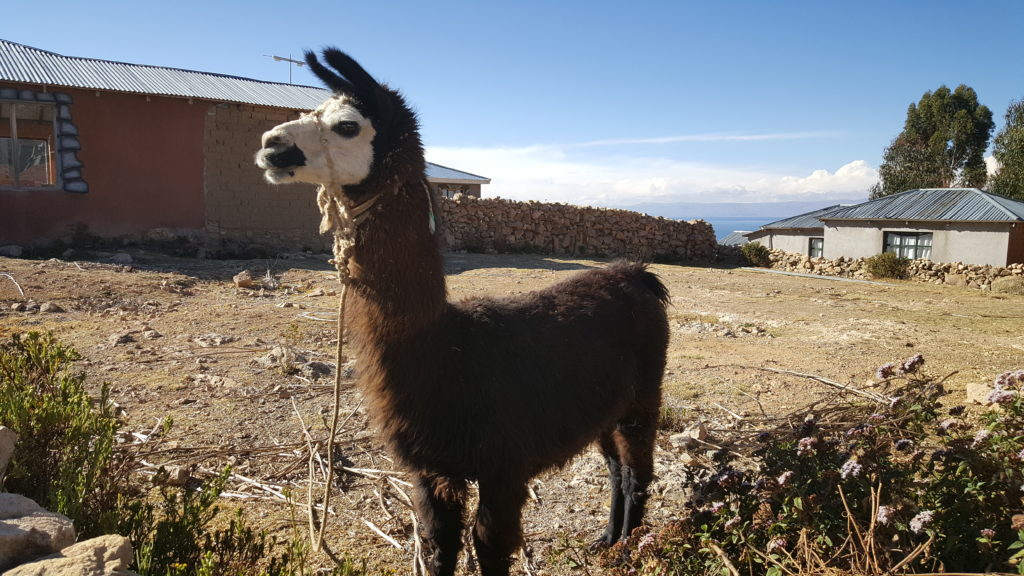 Lama-bolivie