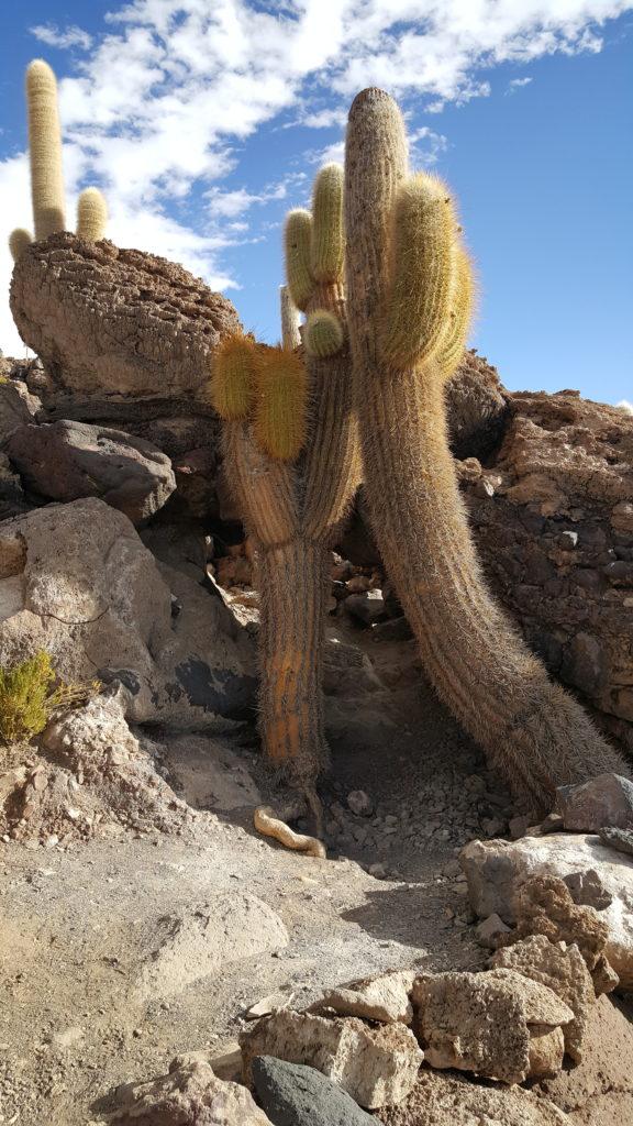 cactus salar uyuni