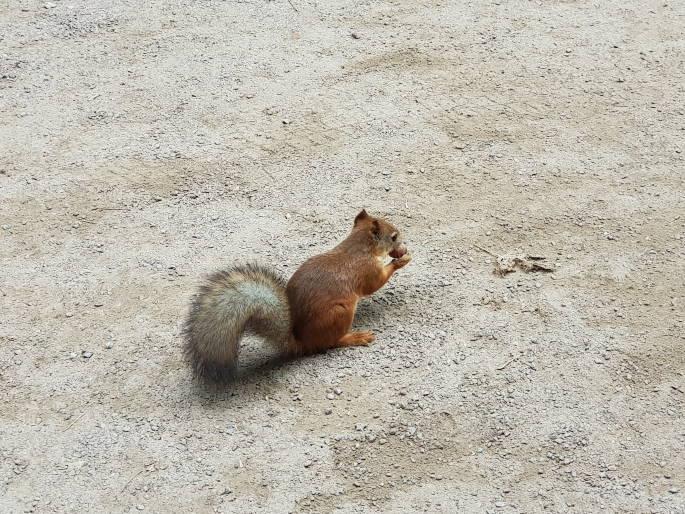 ecureuil peterhof